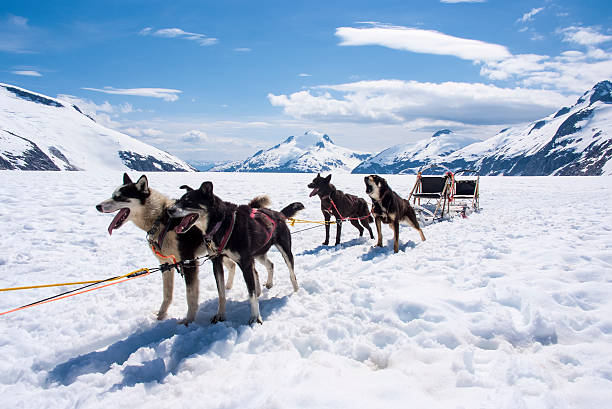 Dog sledding in Alaska Special adventure in Alaska - Dogsled experience - Travel Destination working animal stock pictures, royalty-free photos & images