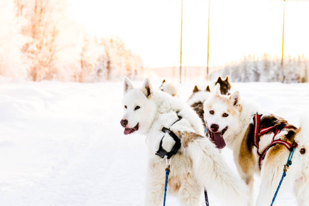 hundspann i swedish lapland - norrbotten bildbanksfoton och bilder