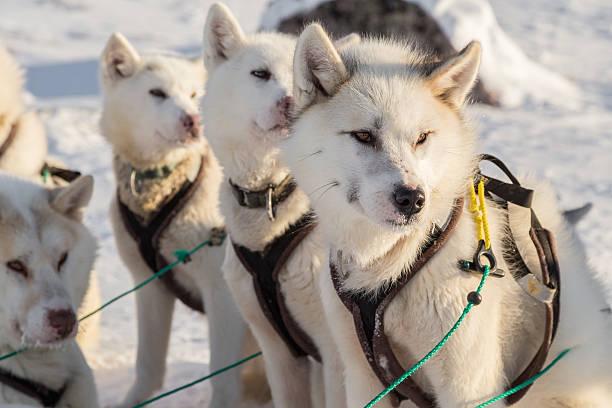Hundeschlitten-Linie von alert Grönland Hunde sitting auf – Foto