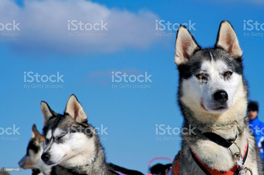Dog Sledding n.1 royalty-free stock photo