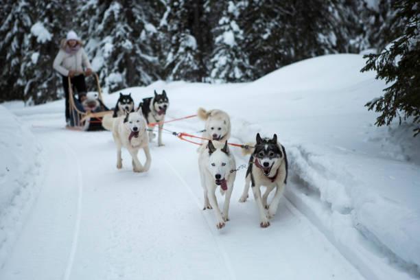 Dog Sledding Dog sledding working animal stock pictures, royalty-free photos & images