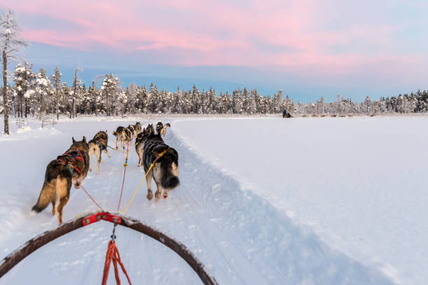 Dog sledding with huskies in beautiful sunrise in Swedish Lapland Dog sledding with huskies in beautiful sunrise in Swedish Lapland husky dog stock pictures, royalty-free photos & images