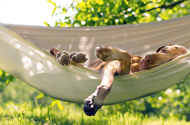 dog sleep in the hammock - hangmat stockfoto's en -beelden