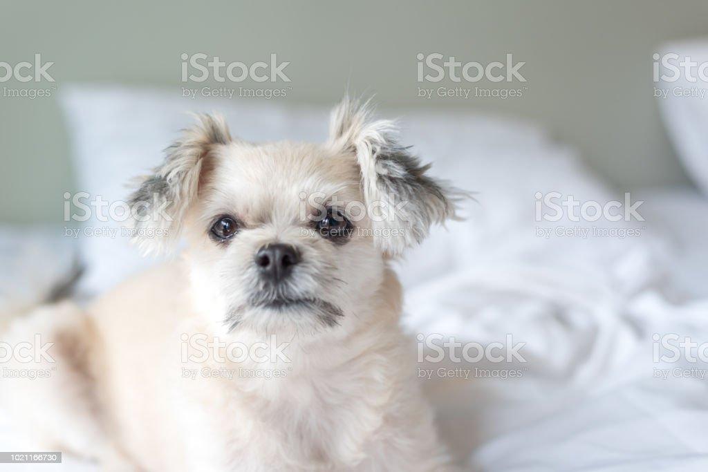 Hund Schlaf Liegt Auf Bett Im Schlafzimmer Zu Hause Oder Im Hotel ...