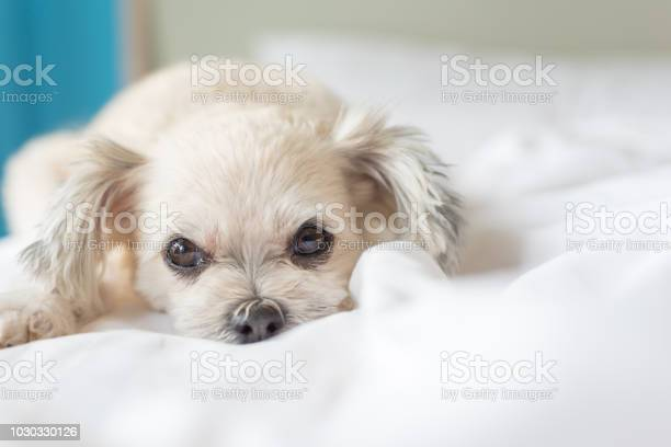 Dog sleep lies on bed in bedroom at home or hotel picture id1030330126?b=1&k=6&m=1030330126&s=612x612&h=netd1haadjuz27x2hvirnkqt7ot1mi1f4x6x2 dyhsa=