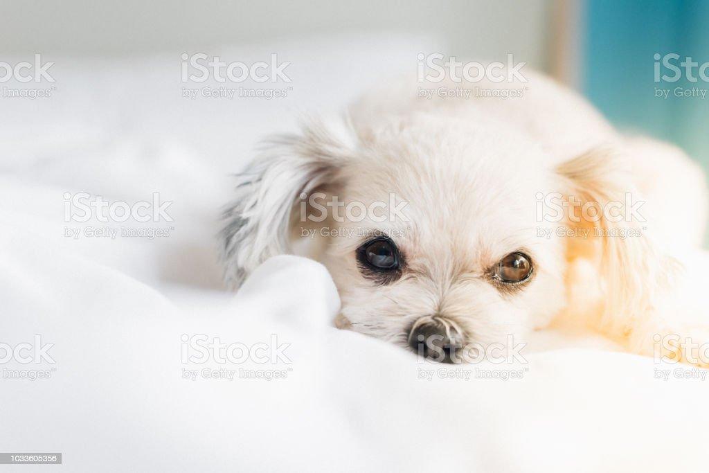 Hund Schlaf Liegt Auf Bett Im Schlafzimmer Zu Hause Oder Im ...