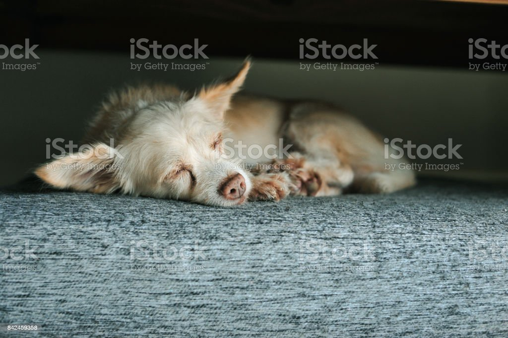 the dog sleep on sofa for relax because tired in holiday time feel...