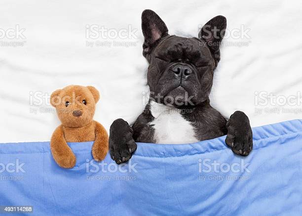 Dog sleeping in bed picture id493114268?b=1&k=6&m=493114268&s=612x612&h=o sohva4tk uvrpiuo0uppanytpbi1e0yj5sa zba0w=