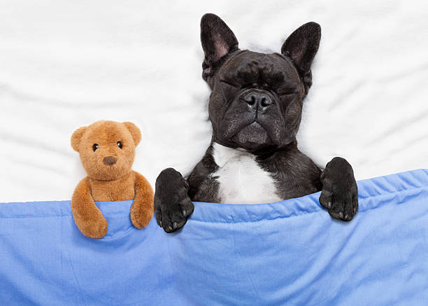 Dog sleeping in bed picture id493114268?b=1&k=6&m=493114268&s=612x612&w=0&h=igzr d7vp2gx7j mm8avxzi7hbvwh1faaqprg5t5n7g=