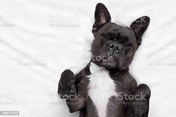 Dog sleeping in bed picture id493114322?b=1&k=6&m=493114322&s=612x612&h=bftniqww4sgnkn3znj q0hdsjpvvezbibapvwmquxnc=