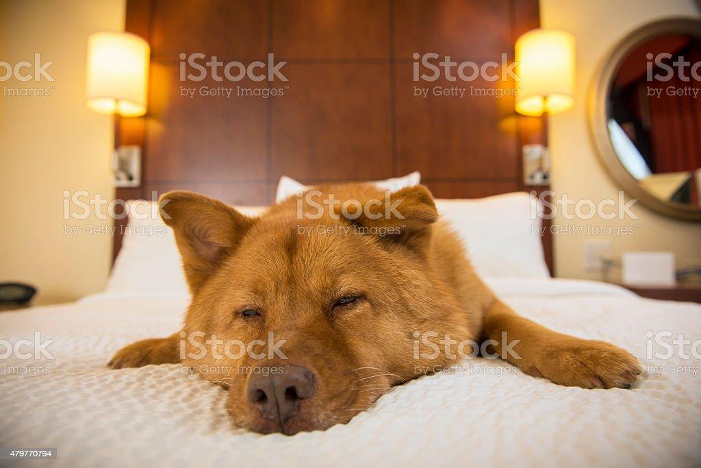 Dog sleeping in hotel room stock photo