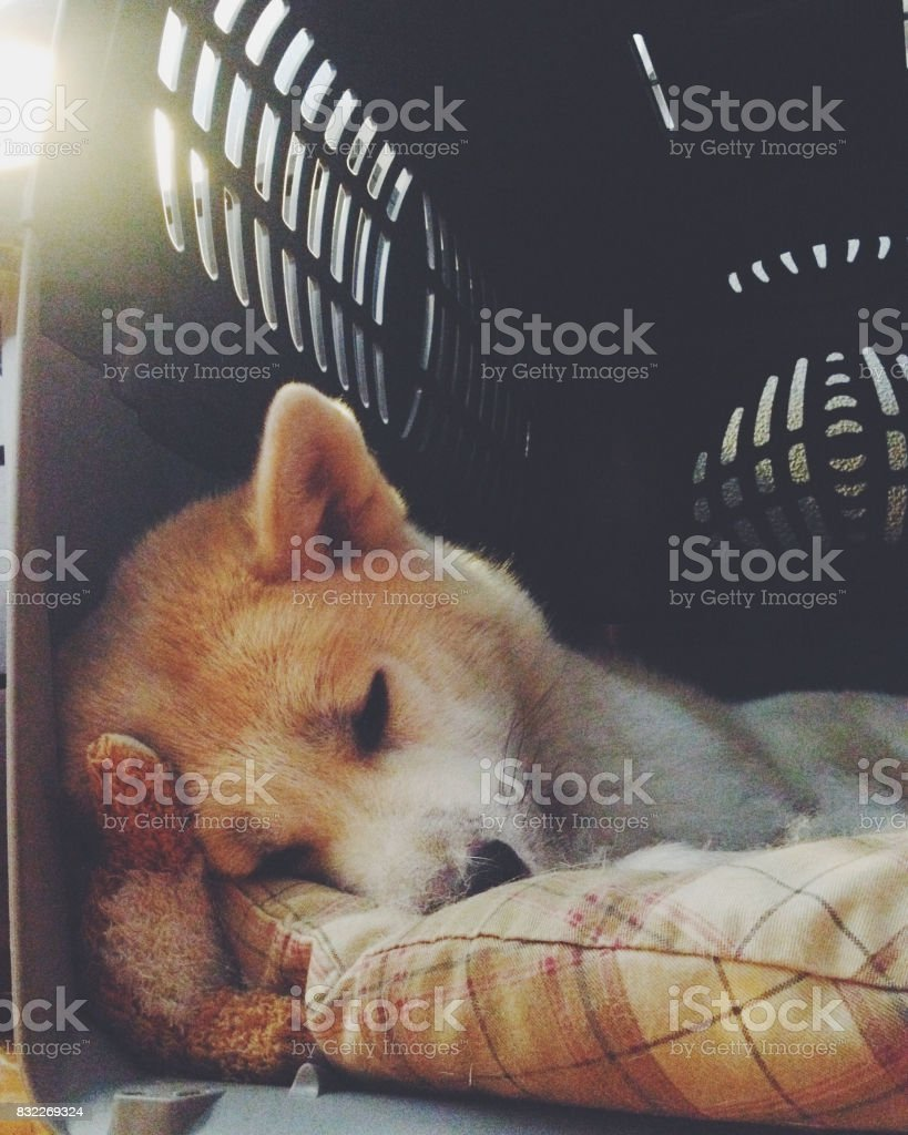 Dog sleeping in the carrier stock photo