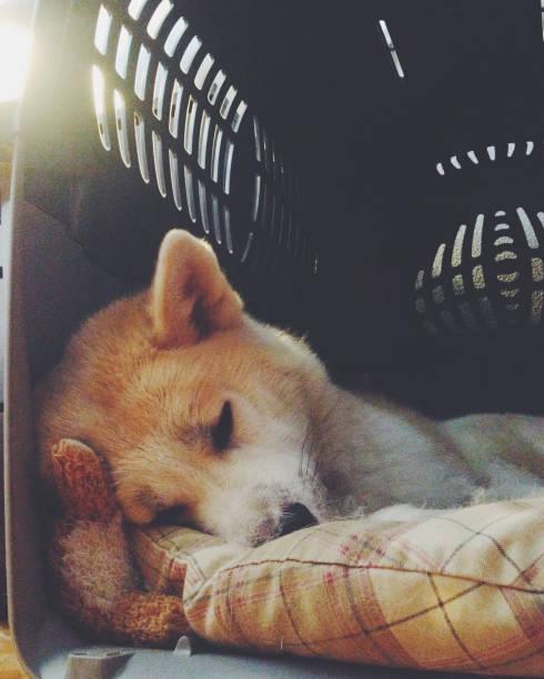 hund schläft im träger - hunde träger stock-fotos und bilder