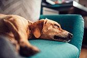 Small yellow dog sleeping on a blue sofa