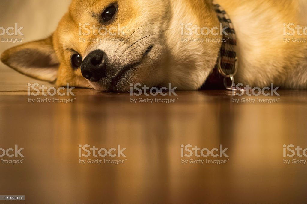 Dog sleeping on floor in house with collar stock photo