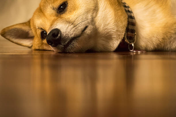Dog sleeping on floor in house with collar stock photo