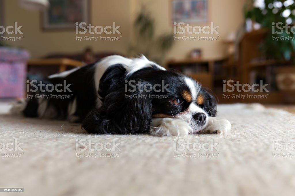dog sleeping on the carpet stock photo