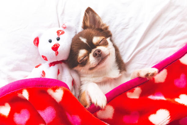 Dog sleeping Cute chihuahua puppy sleeping with teddy bear on the white bed,Vintage style animal valentine stock pictures, royalty-free photos & images