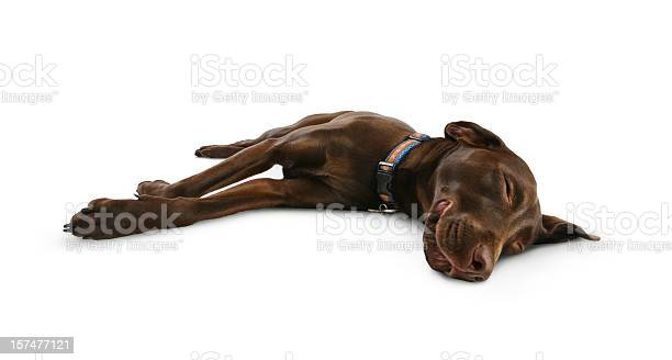 Dog sleeping smiling and dreaming picture id157477121?b=1&k=6&m=157477121&s=612x612&h=wd61h3d35dyg89kgi2gl4ondkhn8ncehj18afigndzi=