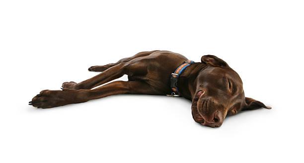 Dog sleeping smiling and dreaming picture id157477121?b=1&k=6&m=157477121&s=612x612&w=0&h=yynhls0buxbkhtz ay1mdk8fmvr7dba1mukeygqnkg4=