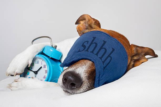 Dog sleeping with alarm clock stock photo