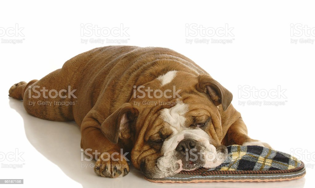dog sleeping with pair of slippers royalty-free stock photo