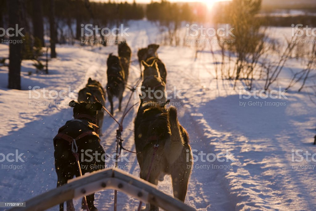 Dog Sleigh Dog sleigh team pulling into the setting sun. Animal Stock Photo