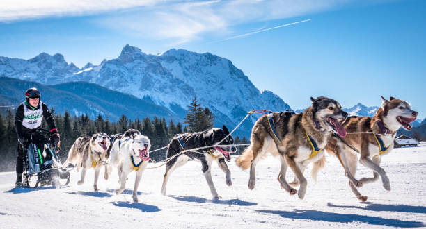 dog sleigh race Wallgau - Germany, February 17: Participant of a dog sled race in front of the european alps on February 17, 2019 in Wallgau working animal stock pictures, royalty-free photos & images