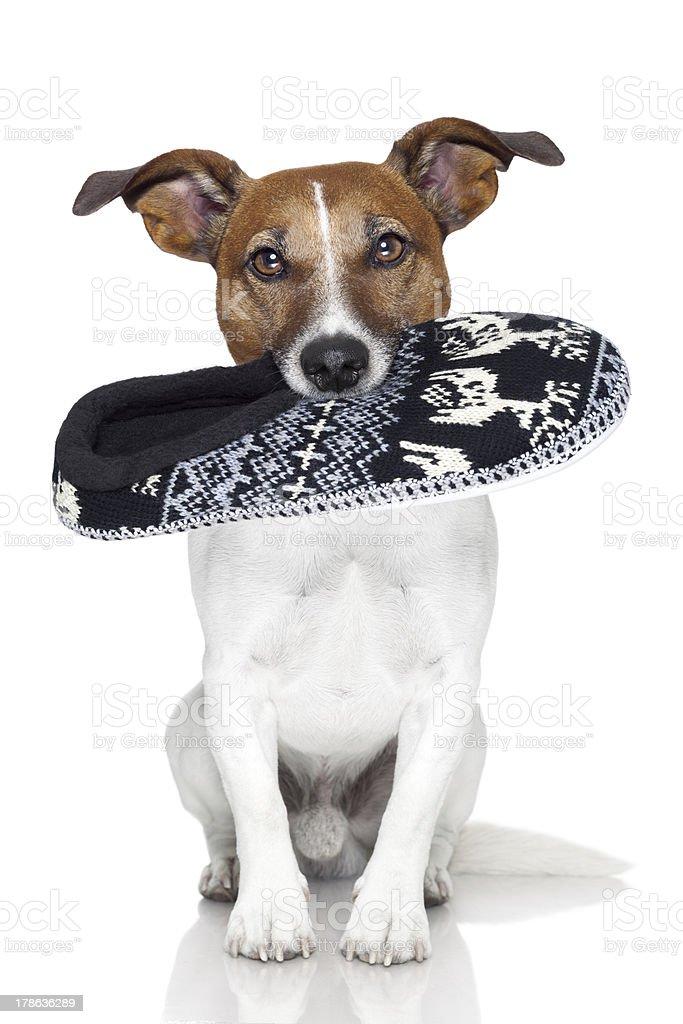 dog slipper mouth stock photo