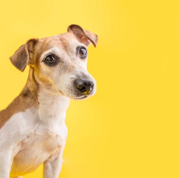 Dog smart eyes looking amazing dog portrait on yellow background cute picture id1135995873?b=1&k=6&m=1135995873&s=612x612&w=0&h=d6  v wycaepjckg6fitgispajdnid jupuxxgkikwg=