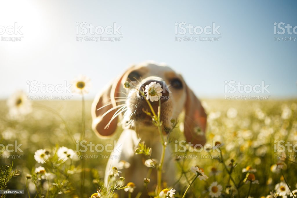 A dog smelling a flower