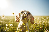 istock A dog smelling a flower 808022474