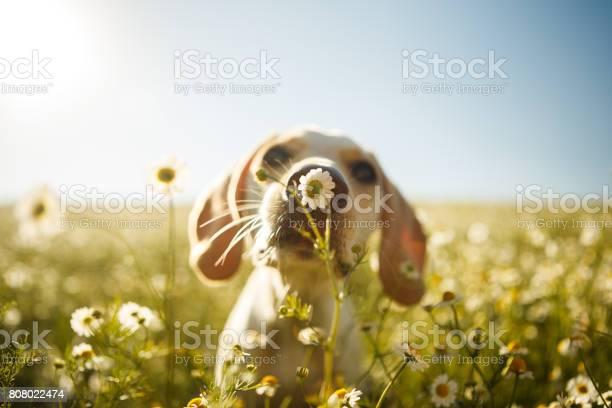 Dog smelling a flower picture id808022474?b=1&k=6&m=808022474&s=612x612&h=5pcgwmwenl3osf3lu ujw5smziq qomxfj6yvqqujei=