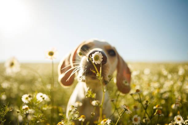 Dog smelling a flower picture id808022474?b=1&k=6&m=808022474&s=612x612&w=0&h=2qsg1mxwsfexe 5nfoxtzvjklxzbgz3dqf 0nbuvjfg=