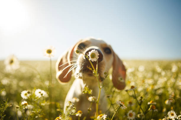 A dog smelling a flower A white dog smelling a chamomile flower with the focus on the flower. springtime stock pictures, royalty-free photos & images