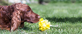 istock Dog smelling banner 545264066