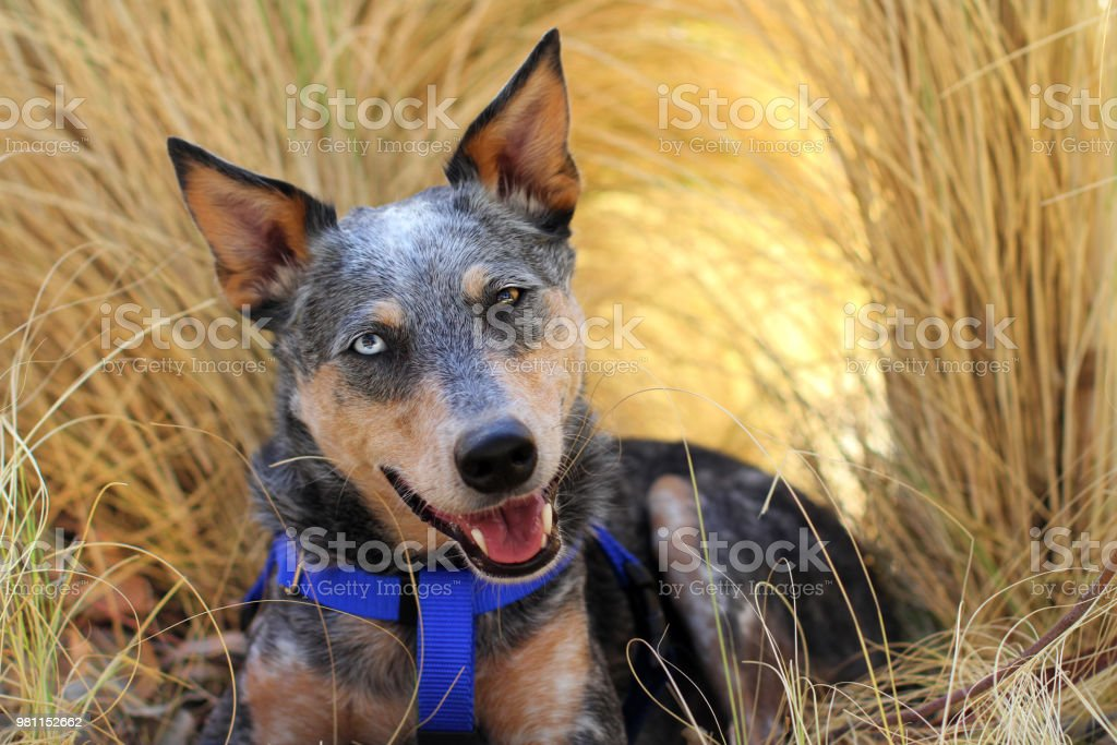 Dog smiling laying in grass stock photo