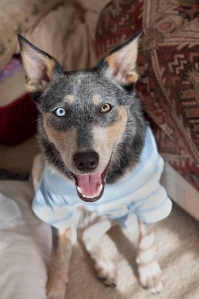 Dog Smiling wearing clothes stock photo