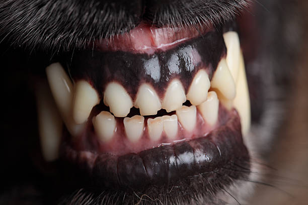 hund knurren (xxxl - knurren stock-fotos und bilder