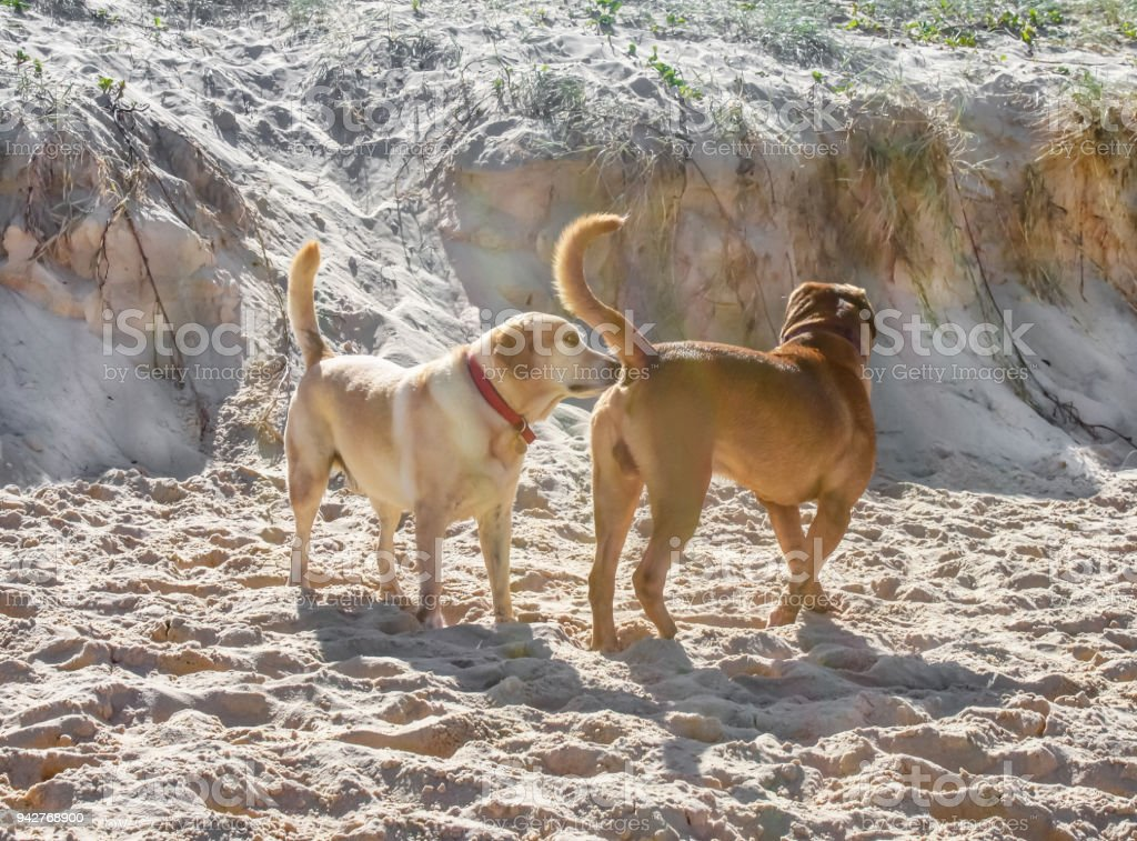A dog sniffing another dogs butt on the beach with churned up sand