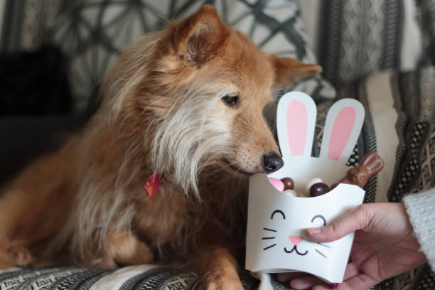 dog sniffing bunny box with easter candy inside - sugar cane foto e immagini stock