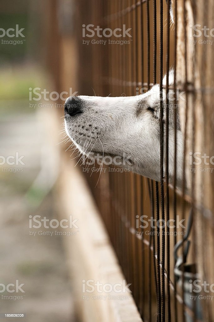 Dog snout appearing from a brown fence stock photo