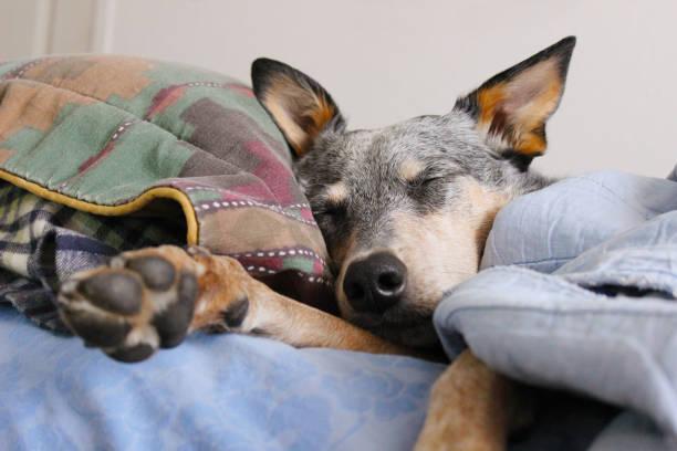 Dog Snuggled in Bed stock photo
