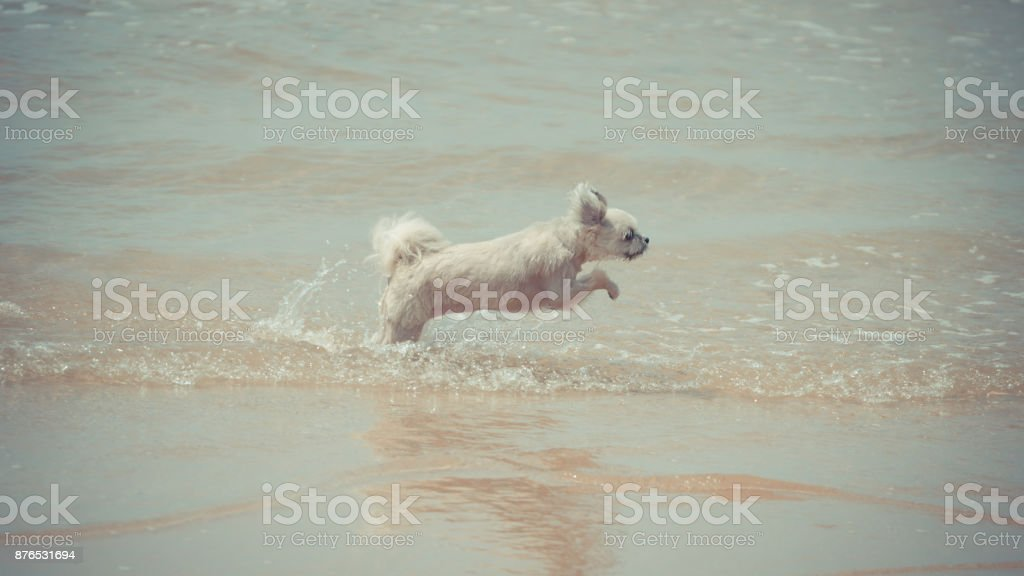 Dog So Cute Beige Color Mixed Breed With Shihtzu Pomeranian And