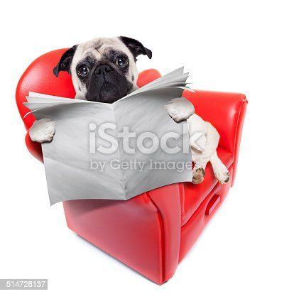 pug dog reading newspaper while sitting relaxed on a cool red sofa or couch