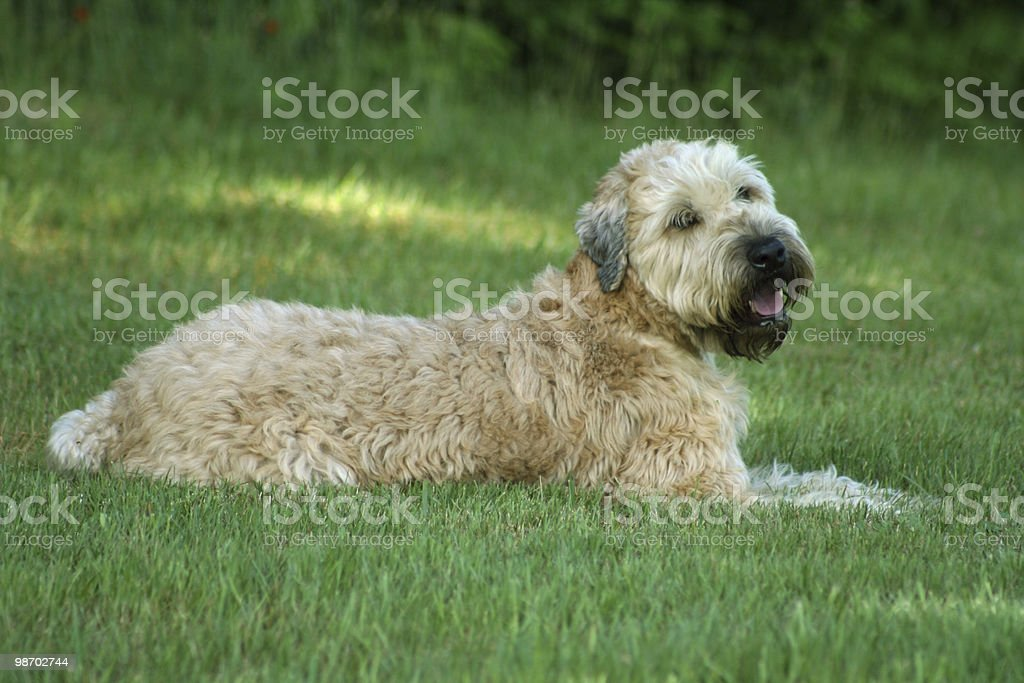 Dog: Soft-Coated Wheaten Terrier royalty-free stock photo
