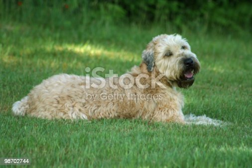 Dog Softcoated Wheaten Terrier Stock Photo & More Pictures of Color Image
