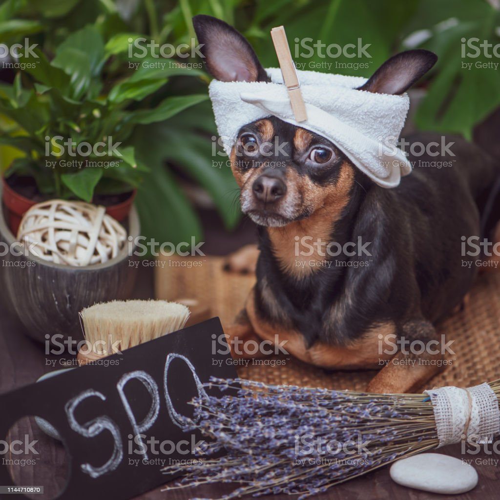Dog spa ,  Cute pet relaxing in spa wellness , Funny concept...