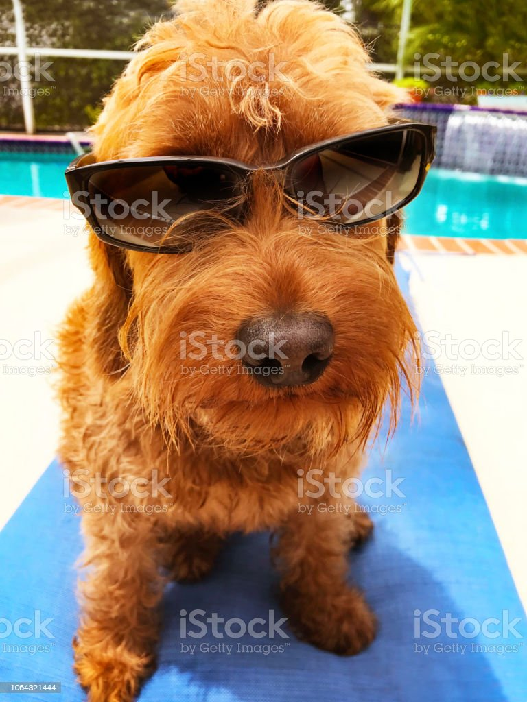 Dog enjoying the sun laying out by the pool and wearing sunglasses