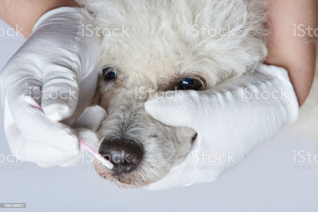 Dog spa theme. Cleaning dog nose in groom studio